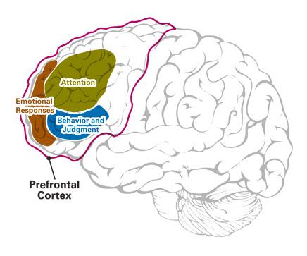 dorsolateral-prefrontal-cortex